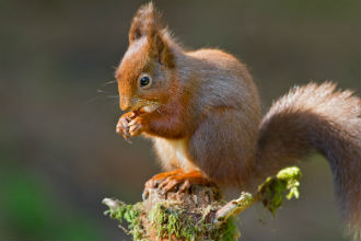 Red Squirrel Population Under Threat
