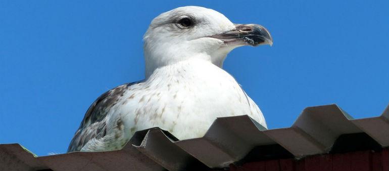 Senator In Seagulls Call