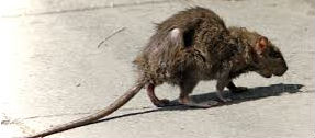 Rats Spotted In Dun Laoghaire