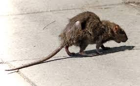 Wheatfield Prison Deals With Rat Problem