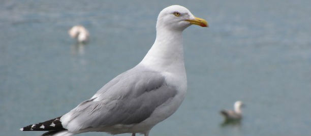 Women Attacked By Gulls In Howth