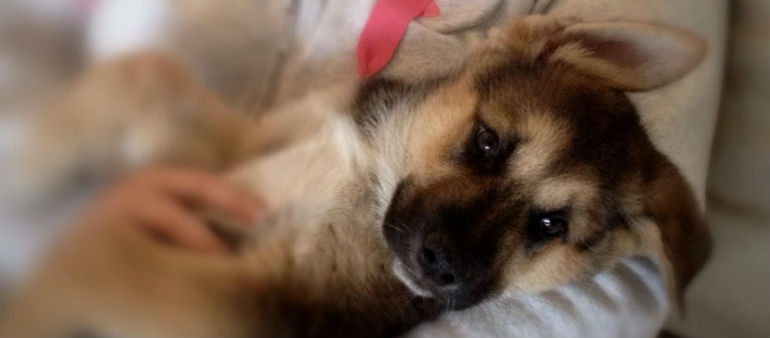 Puppy eyes evolve to appeal to humans