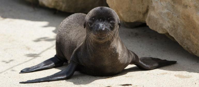 Three Sea Lion Pups born at Dublin Zoo