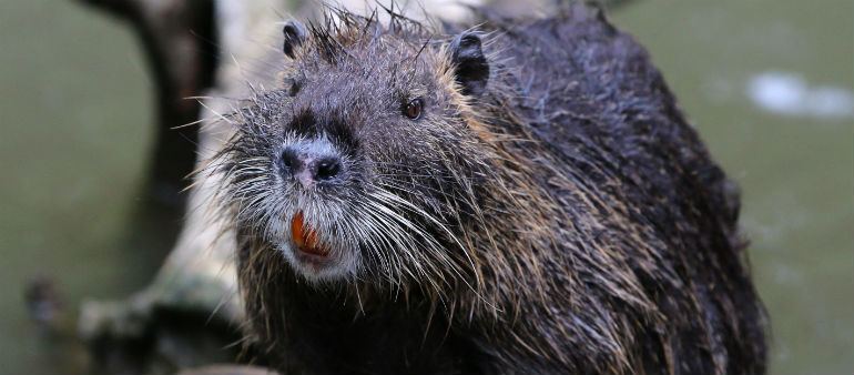 Large Rodent Spotted At Royal Canal