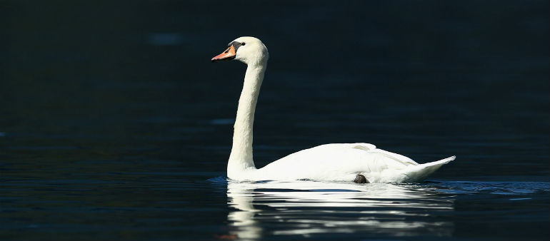 Charity Defends Swans After Dog Attack