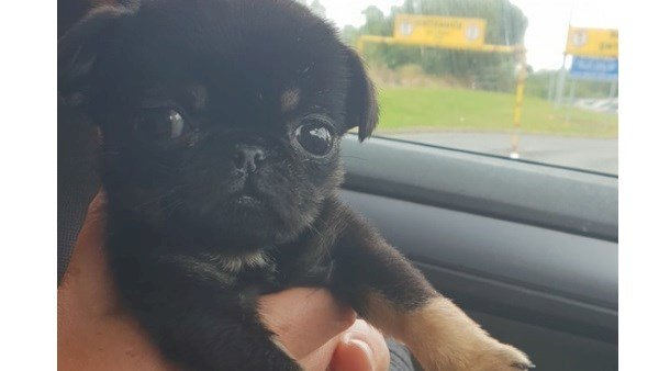 BABY PUG FOUND DUMPED IN PLASTIC BAG